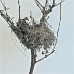 Ryan Livingstone Contemporary Canadian Artist Crows New Brunswick Nest Photograph Casting Silence